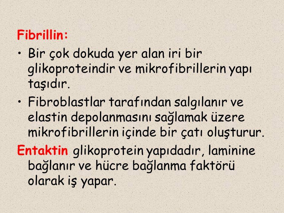Fibrillin: Bir çok dokuda yer alan iri bir glikoproteindir ve mikrofibrillerin yapı taşıdır.
