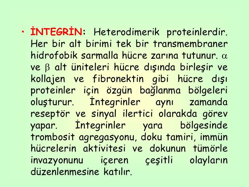 İNTEGRİN: Heterodimerik proteinlerdir