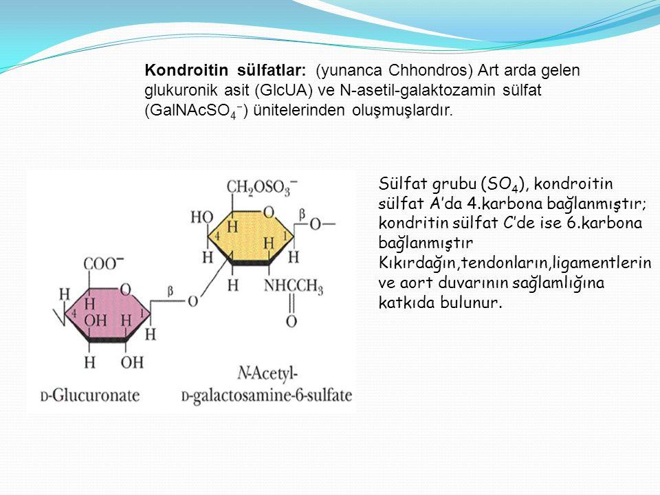 Kondroitin sülfatlar: (yunanca Chhondros) Art arda gelen glukuronik asit (GlcUA) ve N-asetil-galaktozamin sülfat (GalNAcSO4) ünitelerinden oluşmuşlardır.