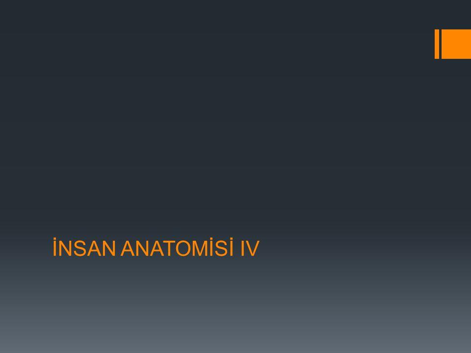 İNSAN ANATOMİSİ IV