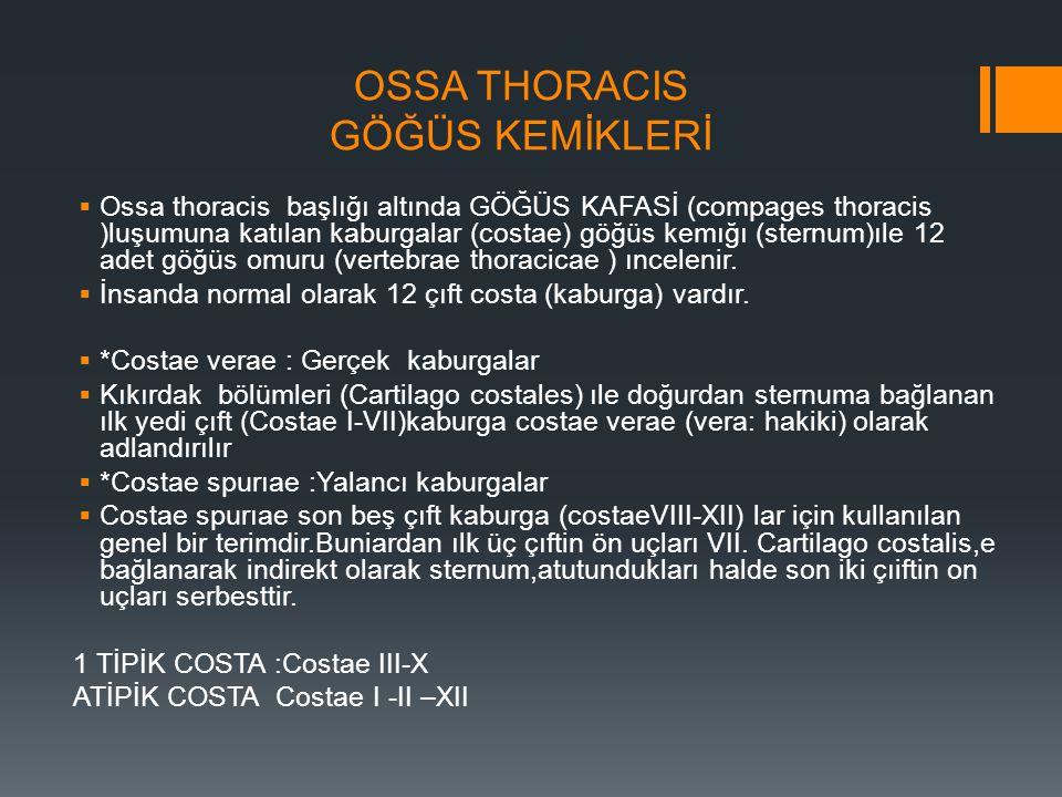 OSSA THORACIS GÖĞÜS KEMİKLERİ