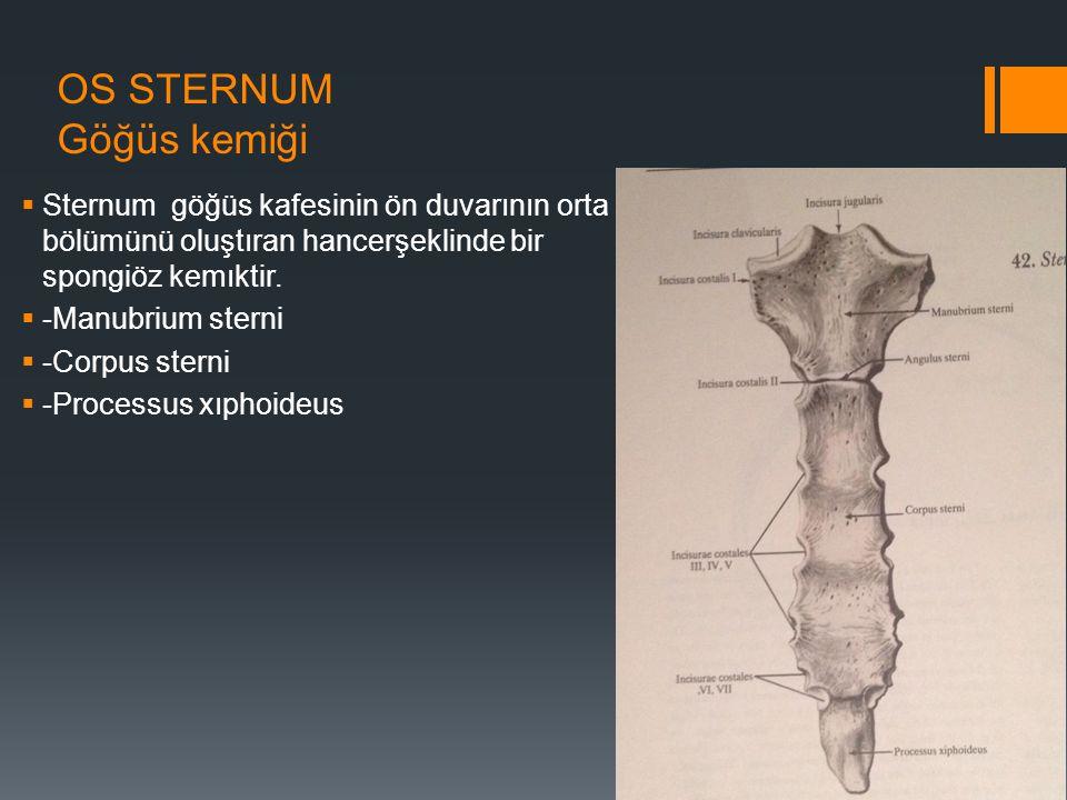 OS STERNUM Göğüs kemiği