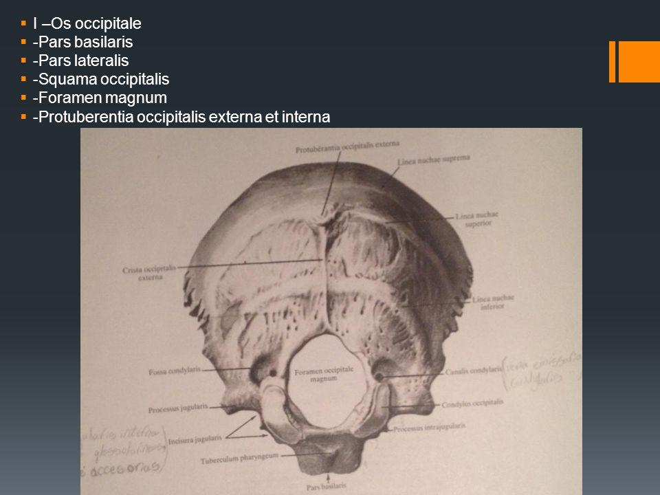 I –Os occipitale -Pars basilaris. -Pars lateralis.