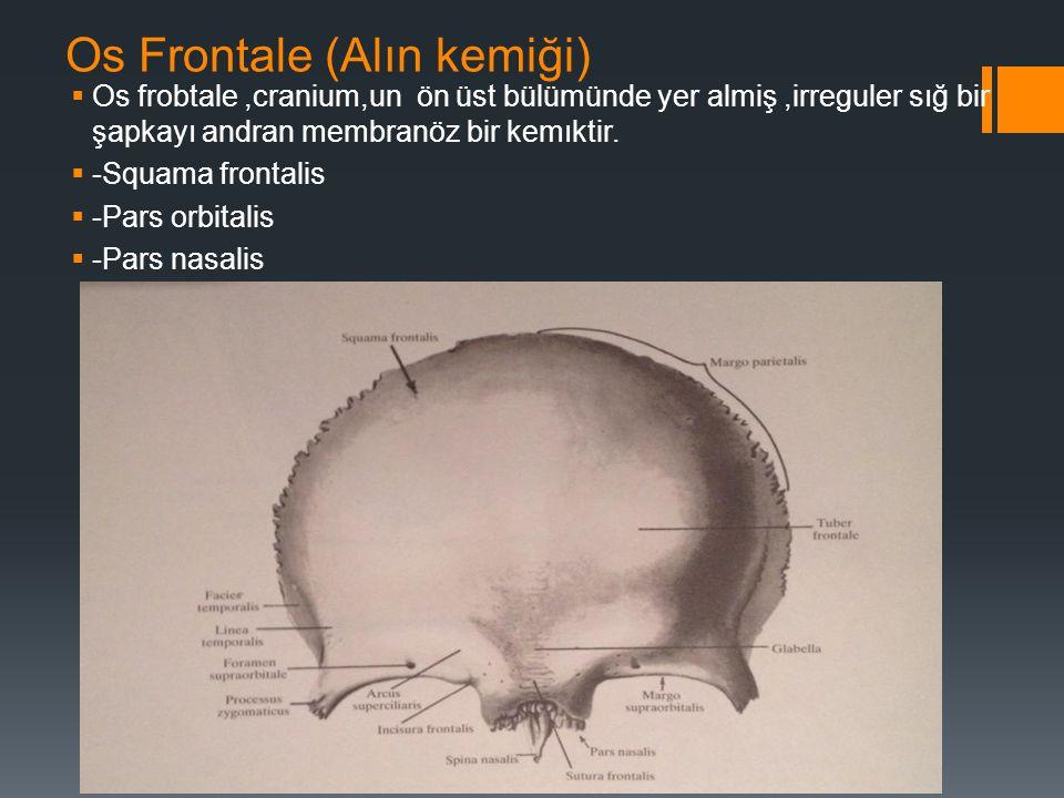 Os Frontale (Alın kemiği)