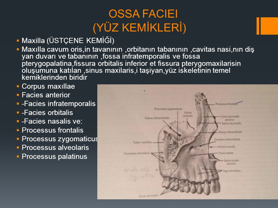 OSSA FACIEI (YÜZ KEMİKLERİ)