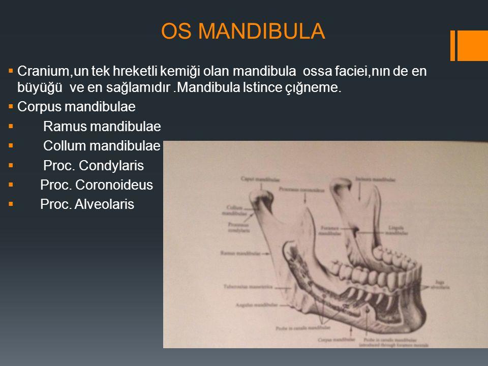 OS MANDIBULA Cranium,un tek hreketli kemiği olan mandibula ossa faciei,nın de en büyüğü ve en sağlamıdır .Mandibula lstince çığneme.