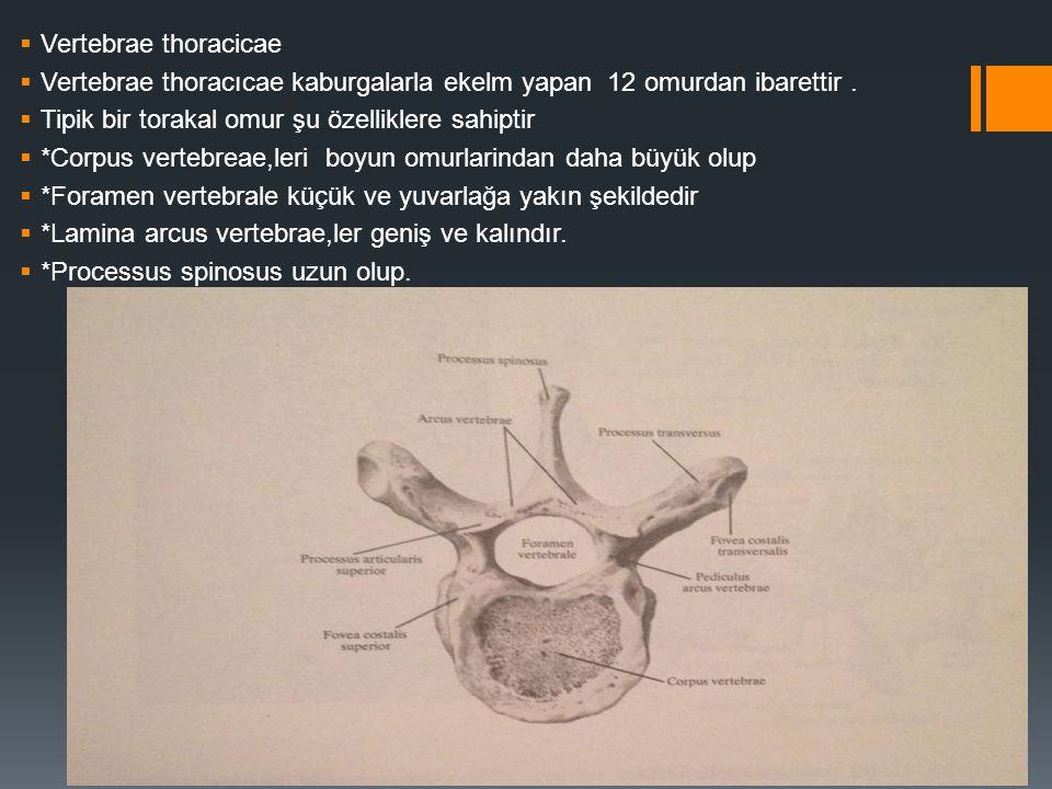 Vertebrae thoracicae Vertebrae thoracıcae kaburgalarla ekelm yapan 12 omurdan ibarettir . Tipik bir torakal omur şu özelliklere sahiptir.