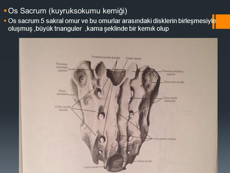 Os Sacrum (kuyruksokumu kemiği)