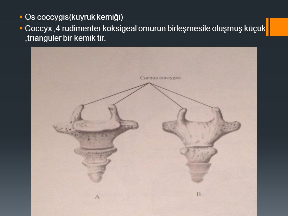 Os coccygis(kuyruk kemiği)