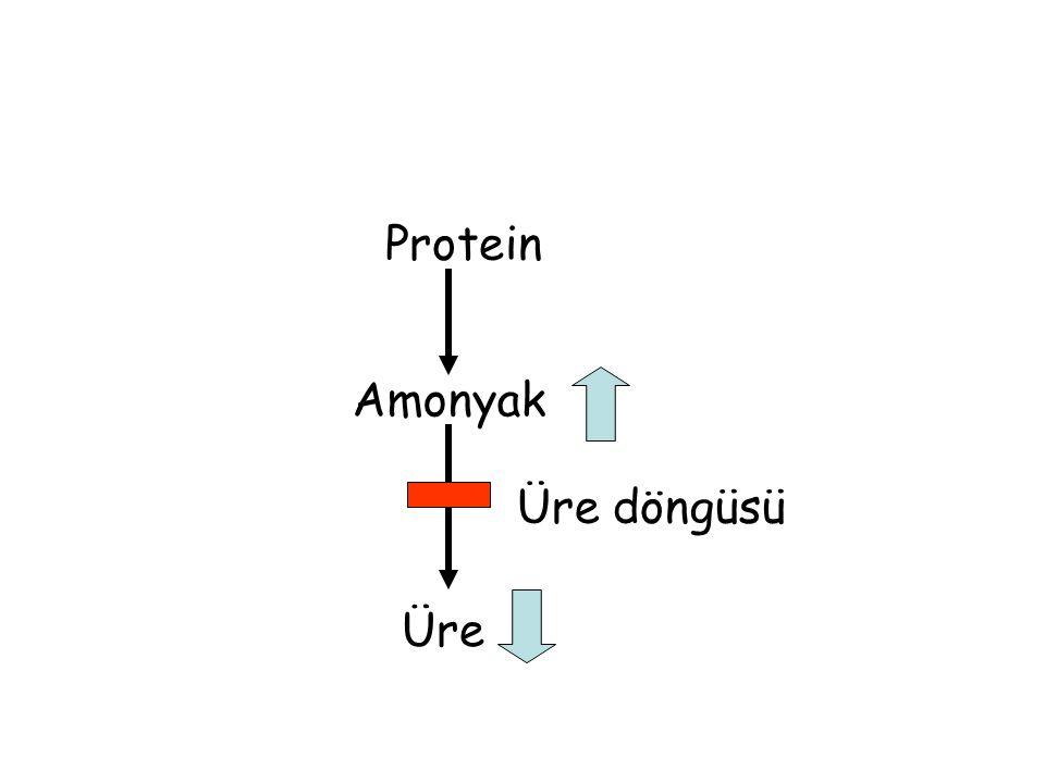 Protein Amonyak Üre döngüsü Üre