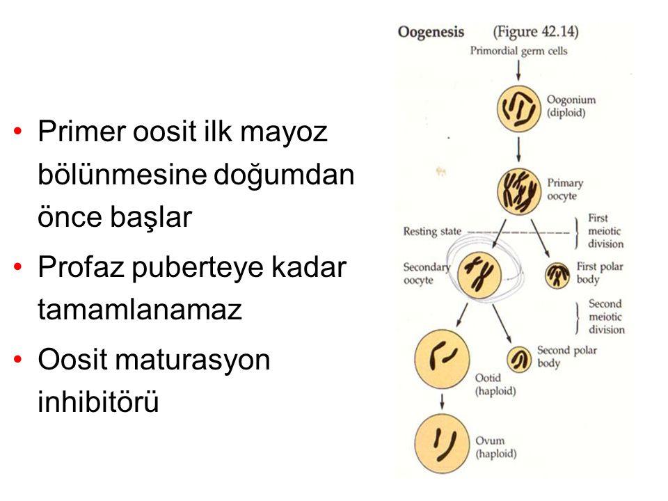 Primer oosit ilk mayoz bölünmesine doğumdan önce başlar