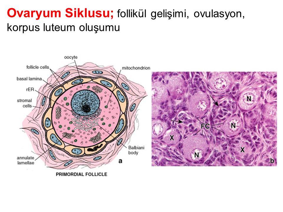 Ovaryum Siklusu; follikül gelişimi, ovulasyon, korpus luteum oluşumu