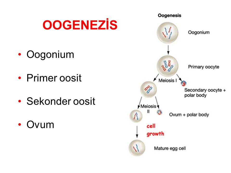 OOGENEZİS Oogonium Primer oosit Sekonder oosit Ovum