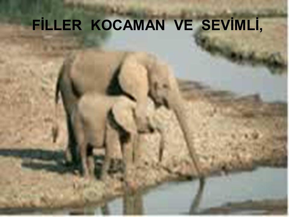 FİLLER KOCAMAN VE SEVİMLİ,