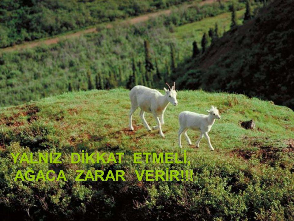YALNIZ DİKKAT ETMELİ, AĞACA ZARAR VERİR!!! Kadiriye Özer