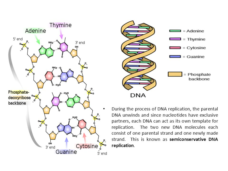 During the process of DNA replication, the parental DNA unwinds and since nucleotides have exclusive partners, each DNA can act as its own template for replication. The two new DNA molecules each consist of one parental strand and one newly made strand. This is known as semiconservative DNA replication.