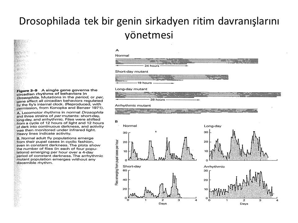Drosophilada tek bir genin sirkadyen ritim davranışlarını yönetmesi