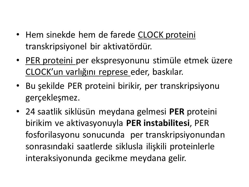 Hem sinekde hem de farede CLOCK proteini transkripsiyonel bir aktivatördür.
