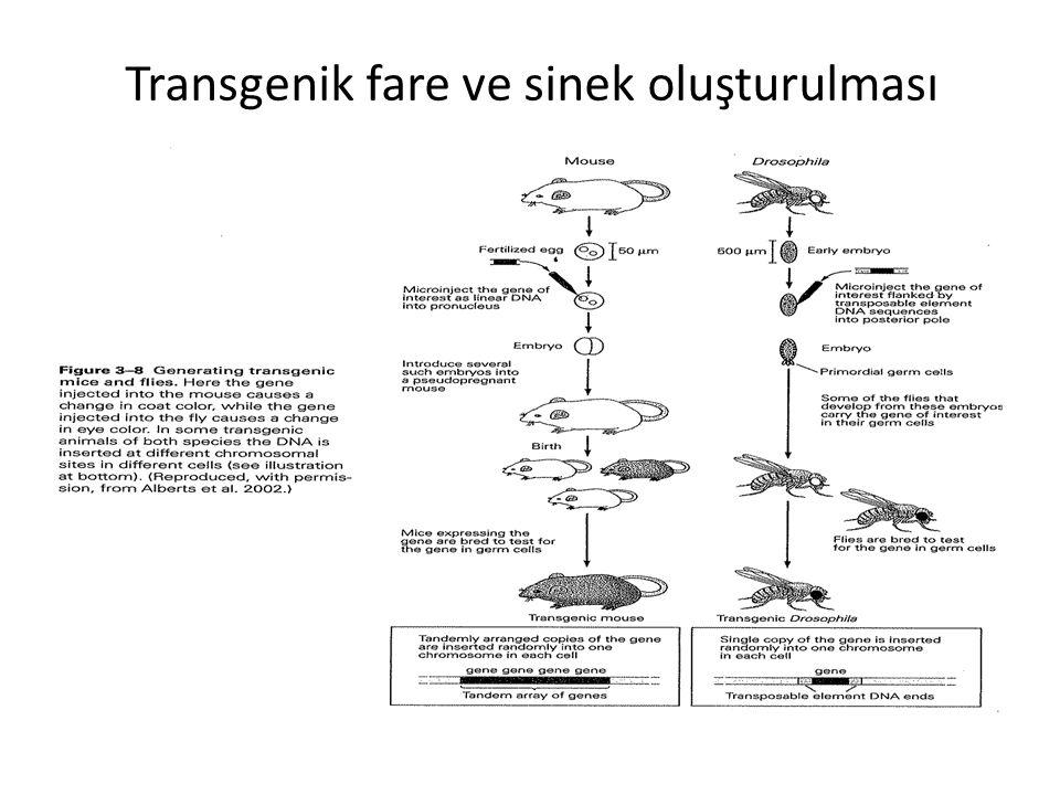 Transgenik fare ve sinek oluşturulması