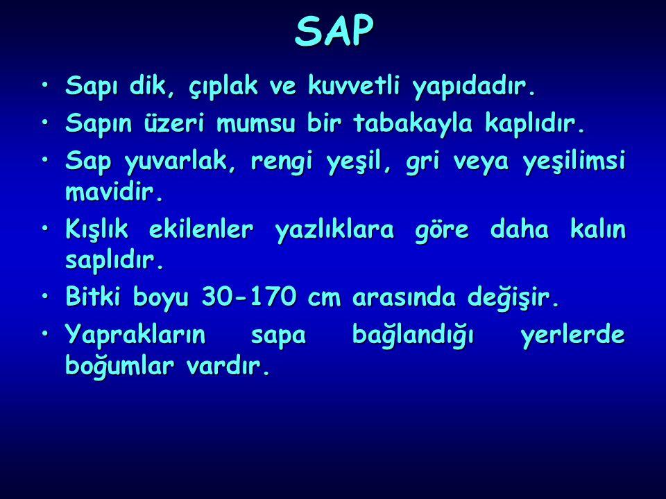 SAP Sapı dik, çıplak ve kuvvetli yapıdadır.