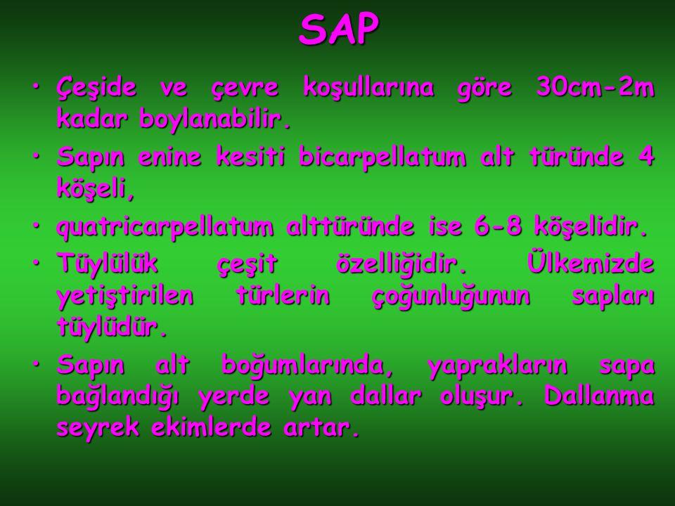 SAP Çeşide ve çevre koşullarına göre 30cm-2m kadar boylanabilir.