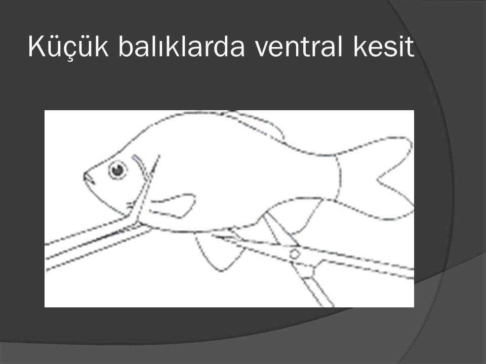 Küçük balıklarda ventral kesit