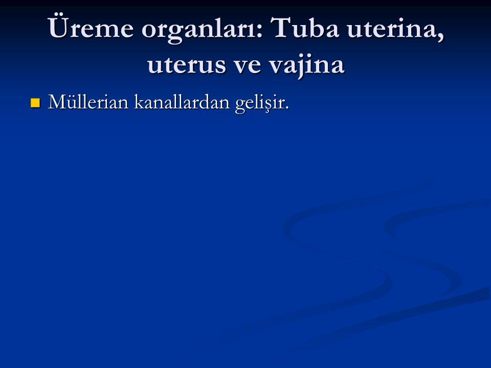 Üreme organları: Tuba uterina, uterus ve vajina