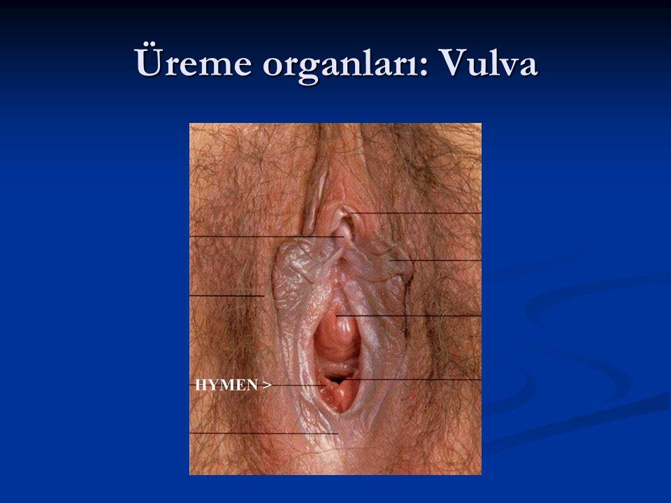 Üreme organları: Vulva