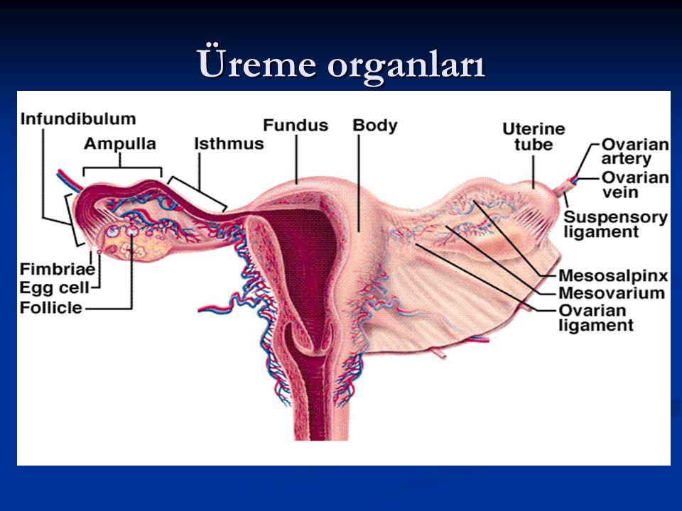 Üreme organları 8