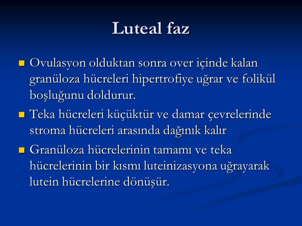 Luteal faz Ovulasyon olduktan sonra over içinde kalan granüloza hücreleri hipertrofiye uğrar ve folikül boşluğunu doldurur.