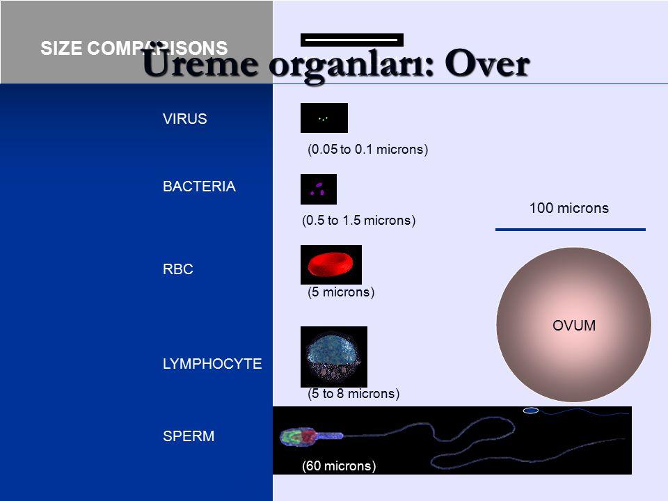 Üreme organları: Over (0.05 to 0.1 microns) (5 microns)