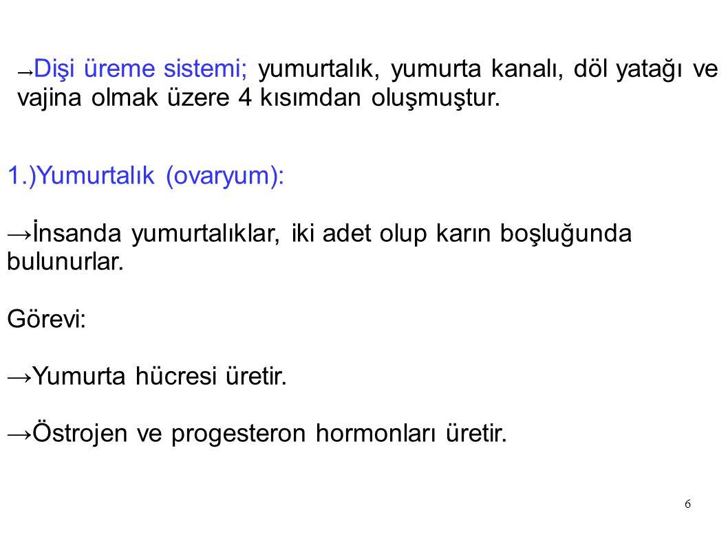 1.)Yumurtalık (ovaryum):