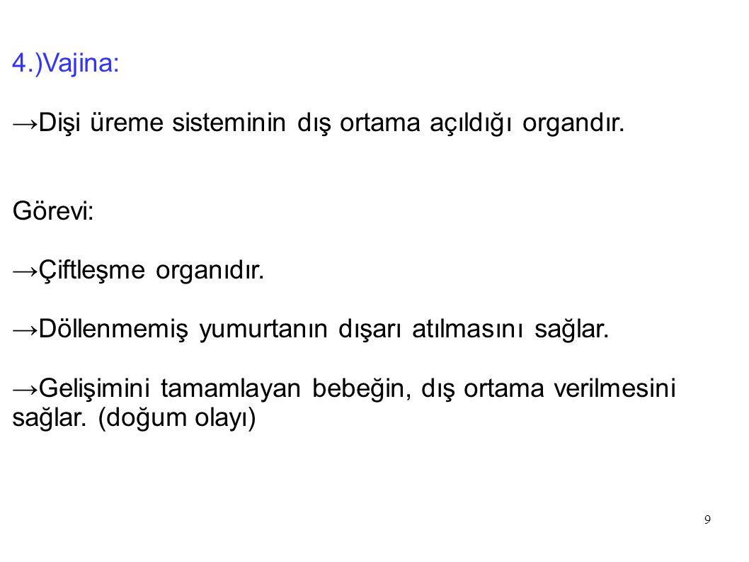 4.)Vajina: →Dişi üreme sisteminin dış ortama açıldığı organdır. Görevi: →Çiftleşme organıdır. →Döllenmemiş yumurtanın dışarı atılmasını sağlar.