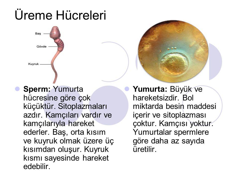 Üreme Hücreleri