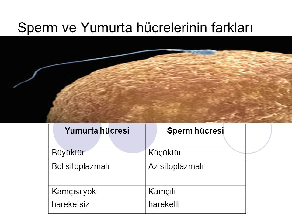 Sperm ve Yumurta hücrelerinin farkları