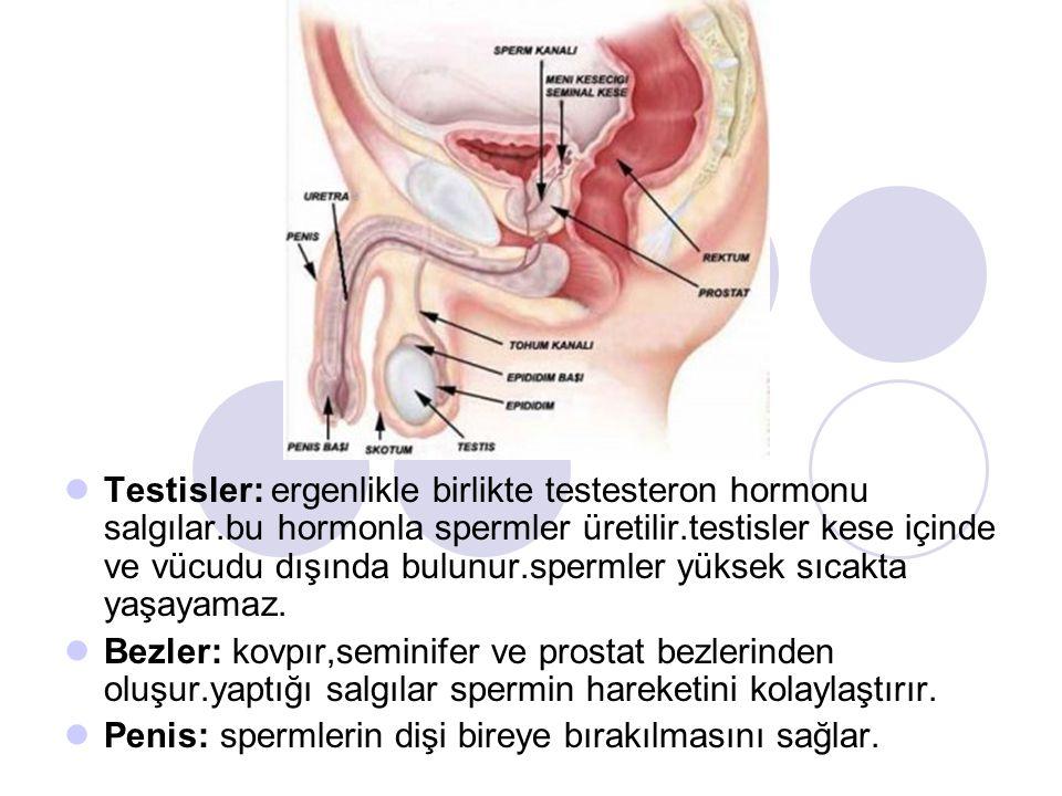 Testisler: ergenlikle birlikte testesteron hormonu salgılar