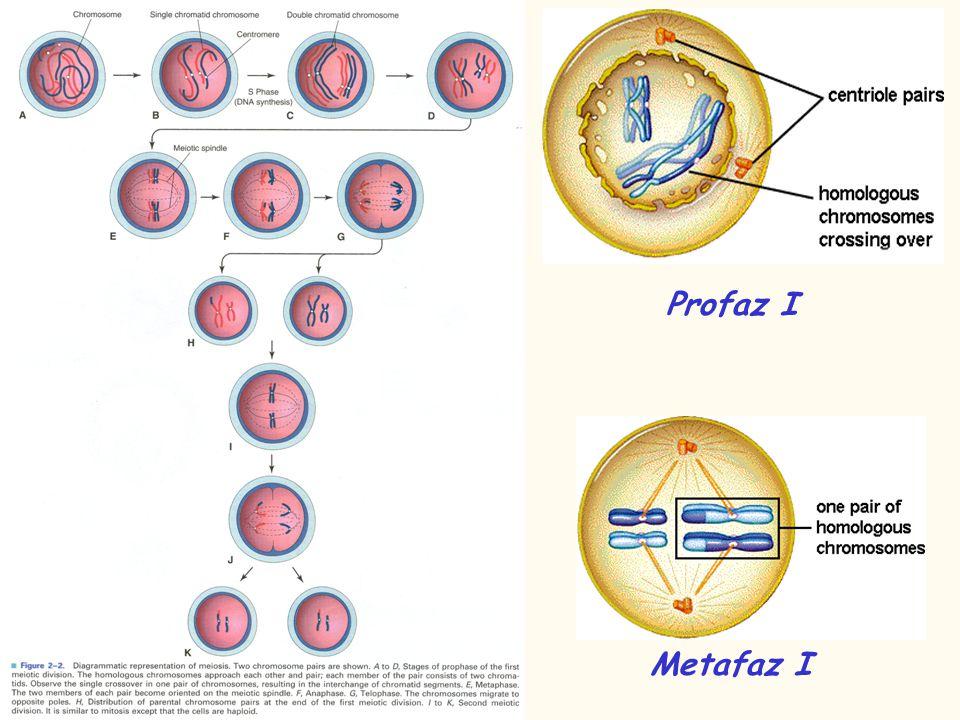 Profaz I Metafaz I