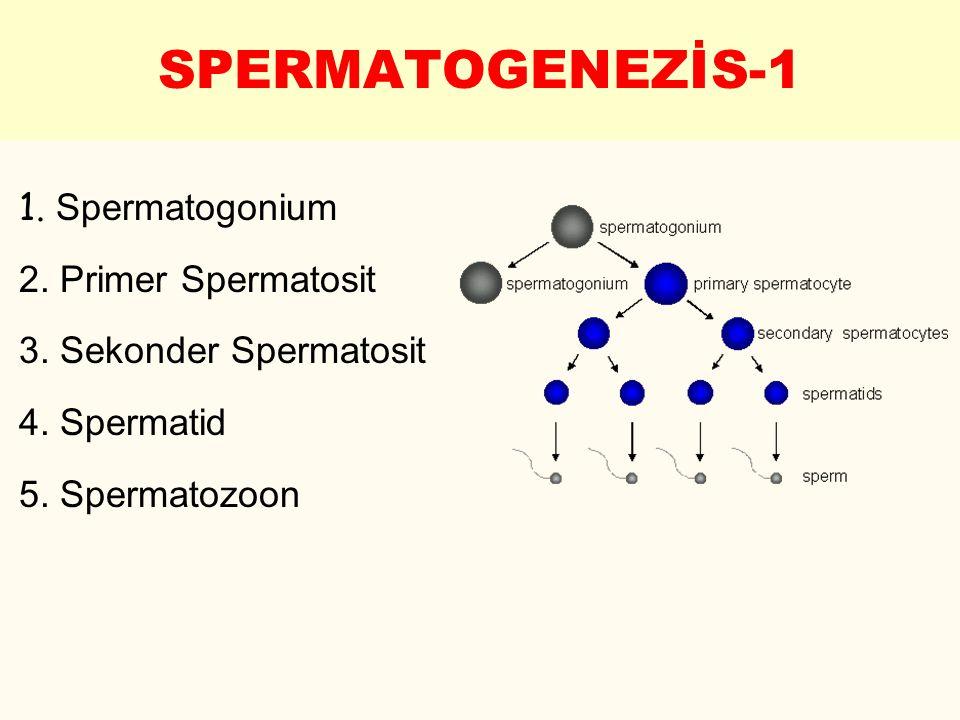 SPERMATOGENEZİS-1 1. Spermatogonium 2. Primer Spermatosit