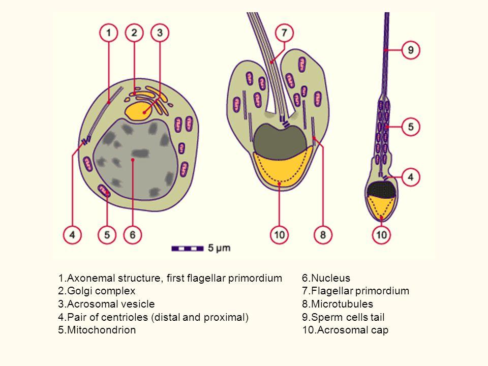1. Axonemal structure, first flagellar primordium 2. Golgi complex 3