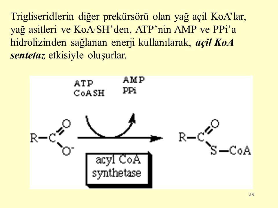 Trigliseridlerin diğer prekürsörü olan yağ açil KoA'lar, yağ asitleri ve KoASH'den, ATP'nin AMP ve PPi'a hidrolizinden sağlanan enerji kullanılarak, açil KoA sentetaz etkisiyle oluşurlar.