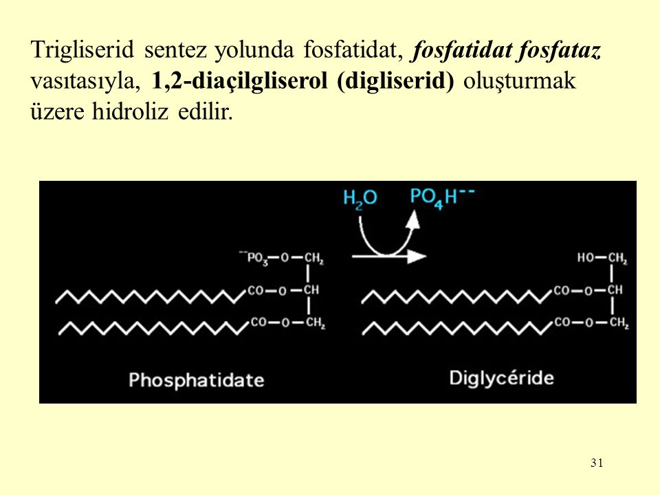 Trigliserid sentez yolunda fosfatidat, fosfatidat fosfataz vasıtasıyla, 1,2-diaçilgliserol (digliserid) oluşturmak üzere hidroliz edilir.