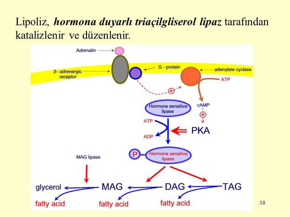 Lipoliz, hormona duyarlı triaçilgliserol lipaz tarafından katalizlenir ve düzenlenir.