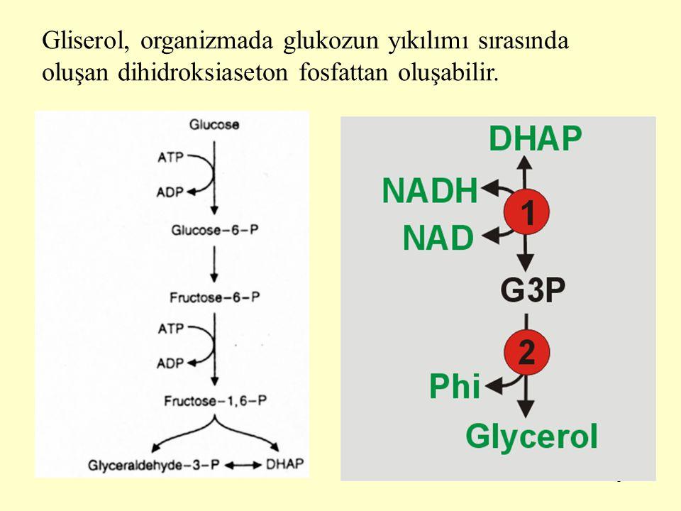 Gliserol, organizmada glukozun yıkılımı sırasında oluşan dihidroksiaseton fosfattan oluşabilir.