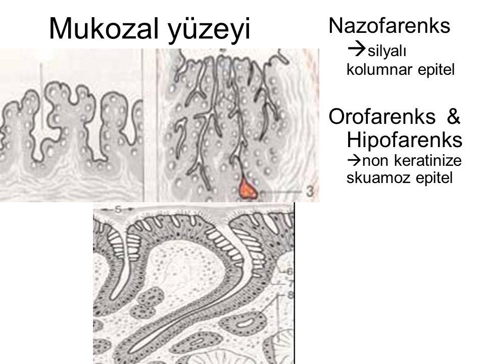 Mukozal yüzeyi Nazofarenks silyalı kolumnar epitel