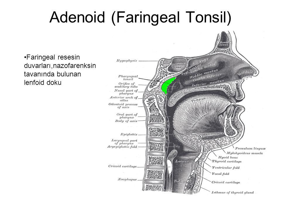 Adenoid (Faringeal Tonsil)