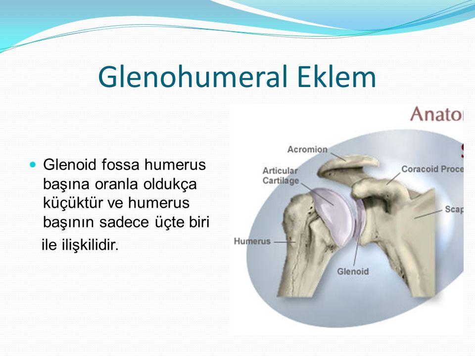 Glenohumeral Eklem Glenoid fossa humerus başına oranla oldukça küçüktür ve humerus başının sadece üçte biri.