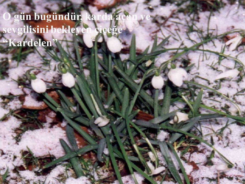 O gün bugündür, karda açan ve sevgilisini bekleyen çiçeğe Kardelen