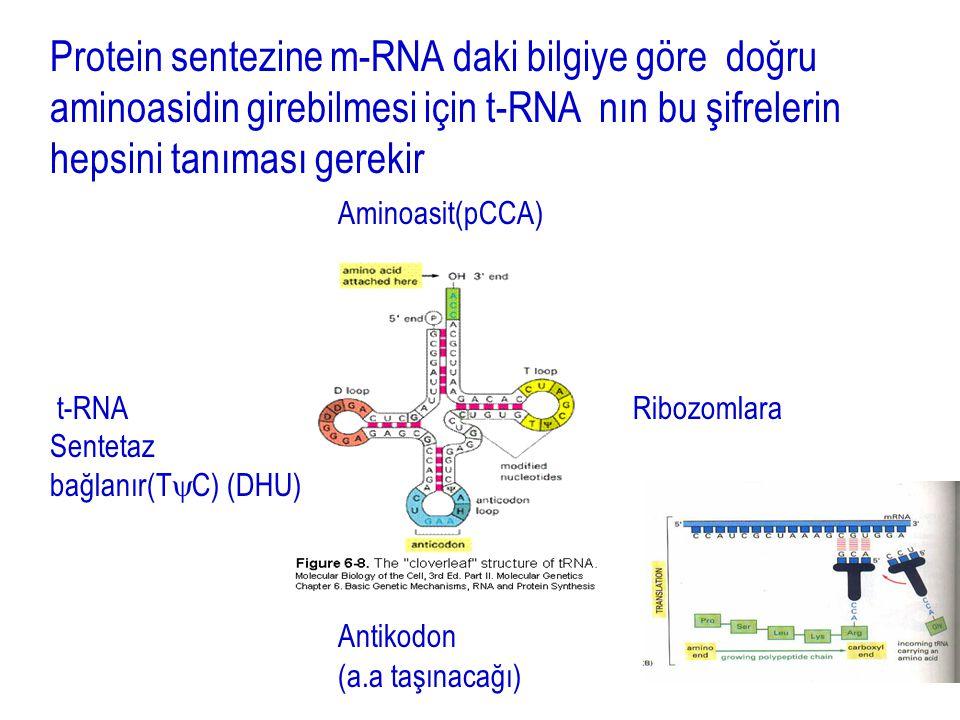 Protein sentezine m-RNA daki bilgiye göre doğru aminoasidin girebilmesi için t-RNA nın bu şifrelerin hepsini tanıması gerekir