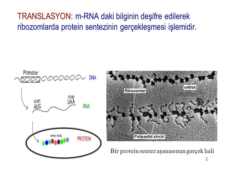 TRANSLASYON: m-RNA daki bilginin deşifre edilerek ribozomlarda protein sentezinin gerçekleşmesi işlemidir.