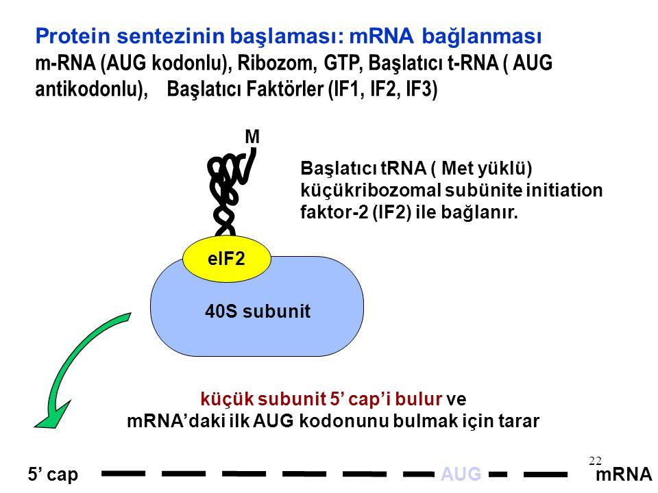 Protein sentezinin başlaması: mRNA bağlanması
